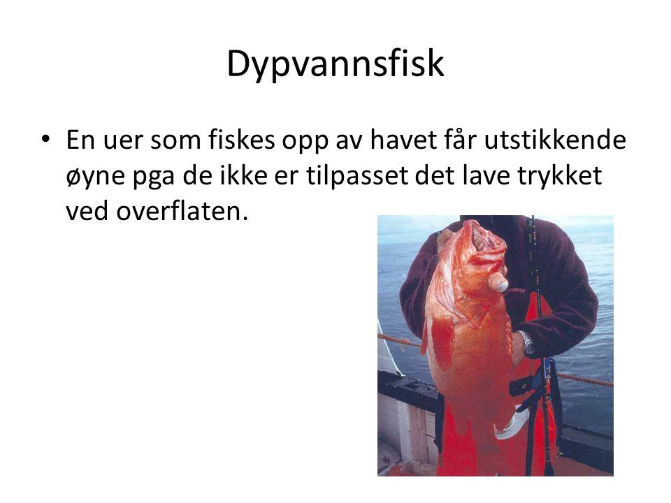 Dypvannsfisk • En uer som fiskes opp av havet får utstikkende øyne pga de ikke er tilpasset det lave trykket ved overflaten.