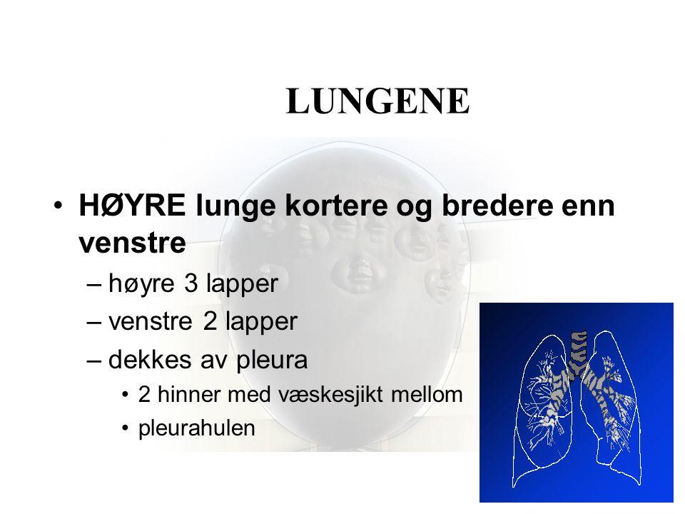 LUNGENE •HØYRE lunge kortere og bredere enn venstre –høyre 3 lapper –venstre 2 lapper –dekkes av pleura •2 hinner med væskesjikt mellom •pleurahulen