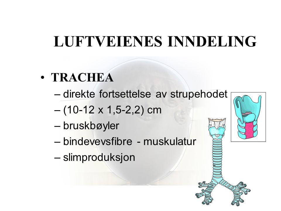 LUFTVEIENES INNDELING •TRACHEA –direkte fortsettelse av strupehodet –(10-12 x 1,5-2,2) cm –bruskbøyler –bindevevsfibre - muskulatur –slimproduksjon