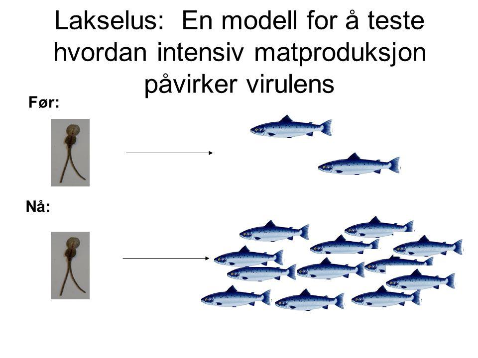 Lakselus: En modell for å teste hvordan intensiv matproduksjon påvirker virulens Før: Nå: