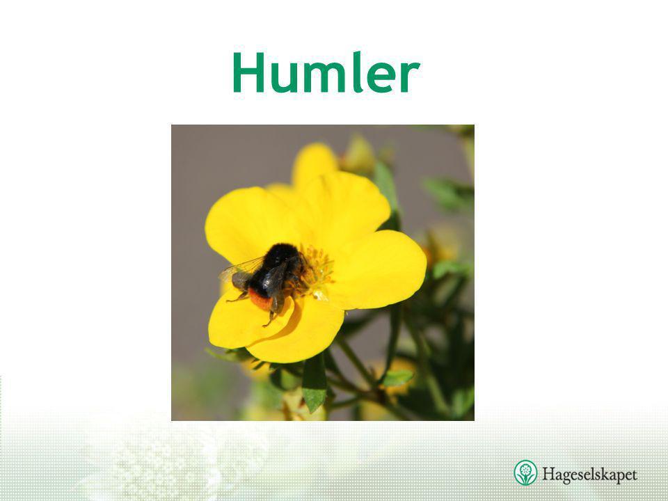 Humler