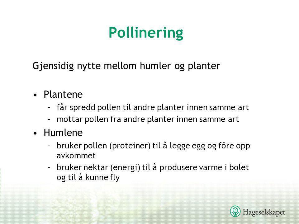 Pollinering Gjensidig nytte mellom humler og planter •Plantene –får spredd pollen til andre planter innen samme art –mottar pollen fra andre planter i