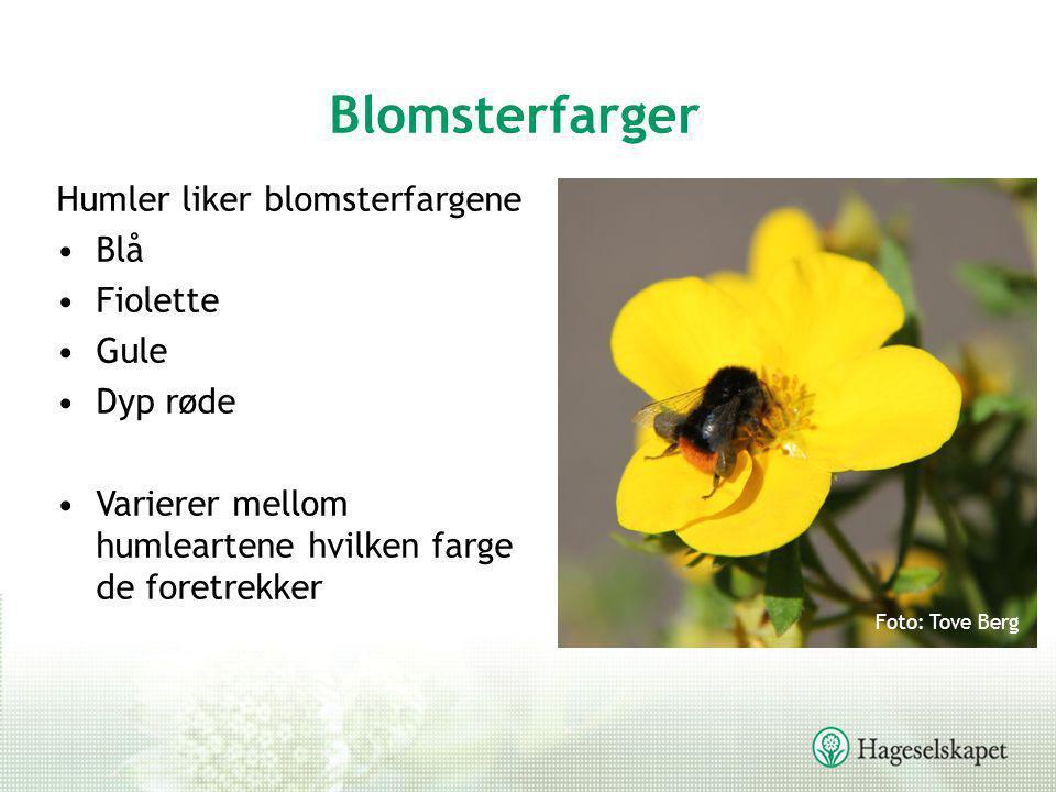Blomsterfarger Humler liker blomsterfargene •Blå •Fiolette •Gule •Dyp røde •Varierer mellom humleartene hvilken farge de foretrekker Foto: Tove Berg