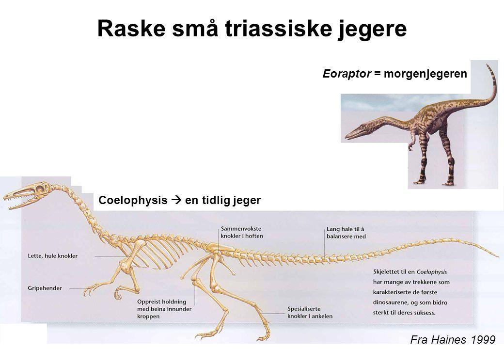 Raske små triassiske jegere Fra Haines 1999 Coelophysis  en tidlig jeger Eoraptor = morgenjegeren