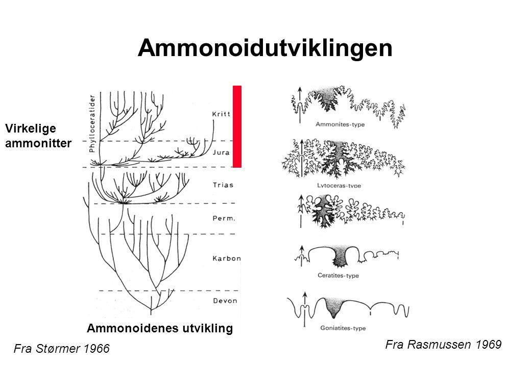 Ammonoidutviklingen Fra Størmer 1966 Fra Rasmussen 1969 Virkelige ammonitter Ammonoidenes utvikling
