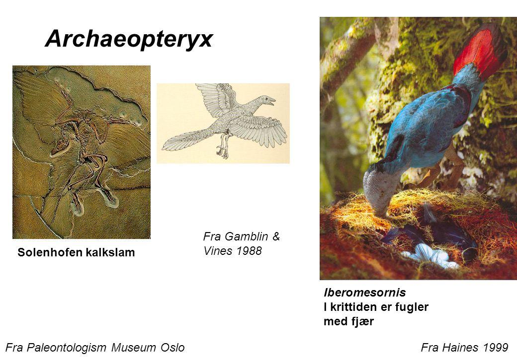 Fra Gamblin & Vines 1988 Archaeopteryx Solenhofen kalkslam Fra Paleontologism Museum Oslo Iberomesornis I krittiden er fugler med fjær Fra Haines 1999