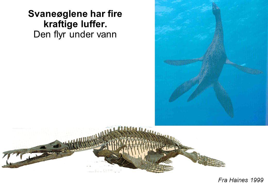 Svaneøglene har fire kraftige luffer. Den flyr under vann Fra Haines 1999