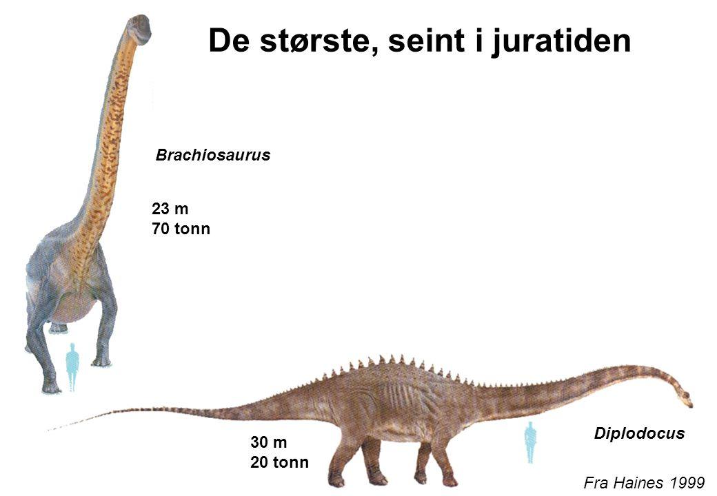 De største, seint i juratiden Fra Haines 1999 Diplodocus Brachiosaurus 23 m 70 tonn 30 m 20 tonn