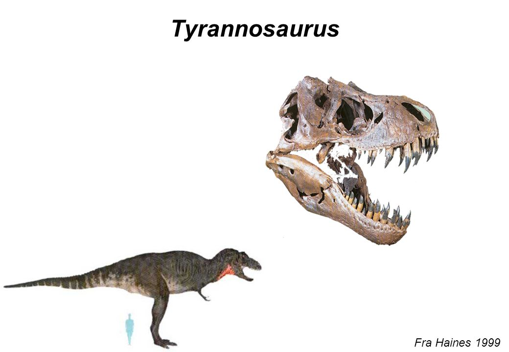 Tyrannosaurus Fra Haines 1999