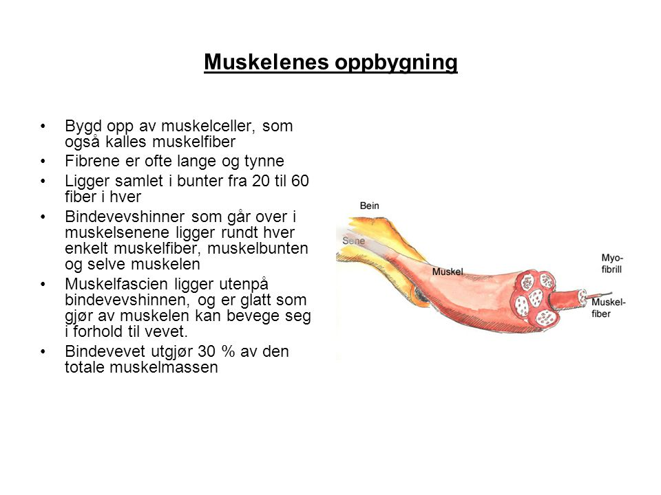 Muskelenes oppbygning •Bygd opp av muskelceller, som også kalles muskelfiber •Fibrene er ofte lange og tynne •Ligger samlet i bunter fra 20 til 60 fib
