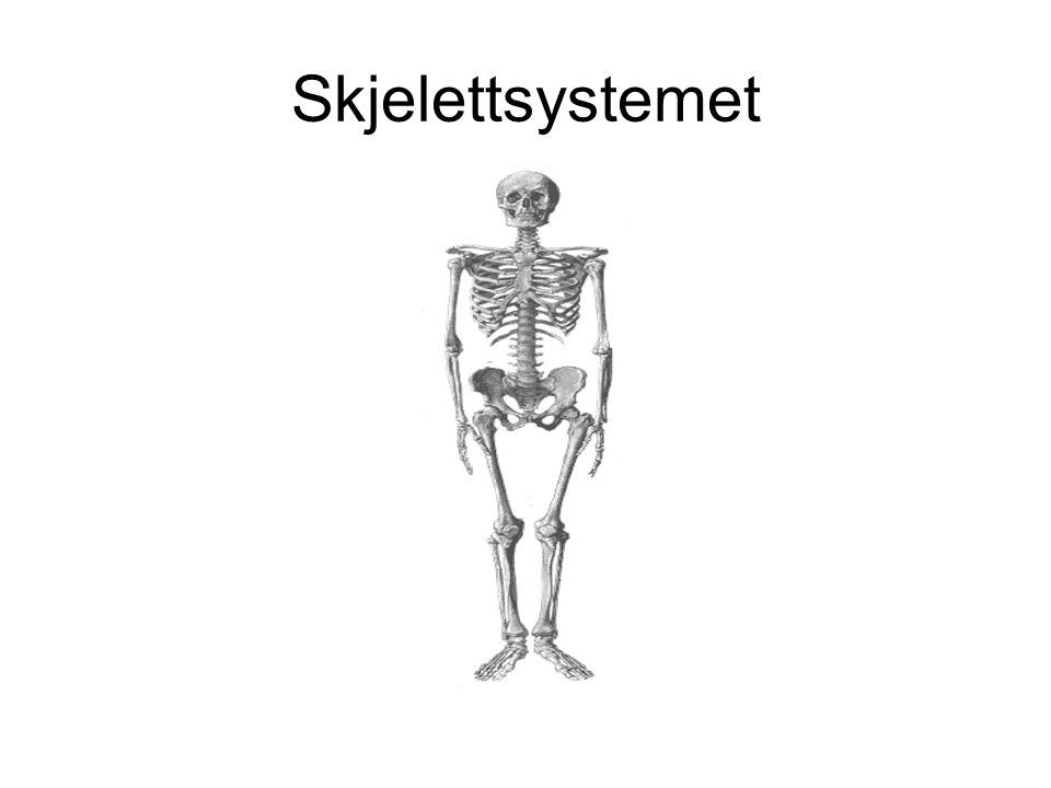 Fakta om skjelettsystemet •Ca 200 større og mindre knokler (bein) •Ca 20 % av kroppsvekten •Holder kroppen oppreist og beskytter indre organsystemer •Deles inn i rør –(bære kroppen), flate –(feste for muskler og beskytte indre organer), korte – og uregelmessige knokler •Forbindelsen mellom to knokler blir kalt ledd