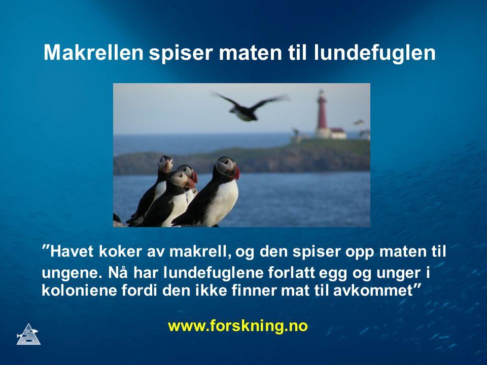 Makrellen spiser maten til lundefuglen Havet koker av makrell, og den spiser opp maten til ungene.