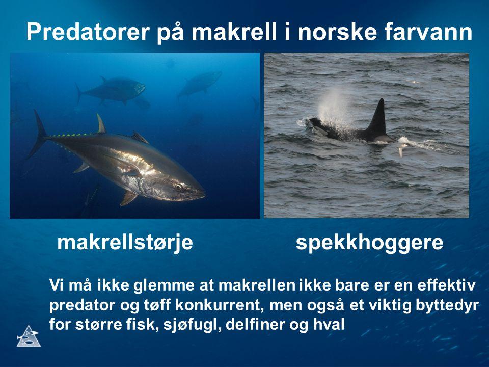 Predatorer på makrell i norske farvann makrellstørjespekkhoggere Vi må ikke glemme at makrellen ikke bare er en effektiv predator og tøff konkurrent, men også et viktig byttedyr for større fisk, sjøfugl, delfiner og hval