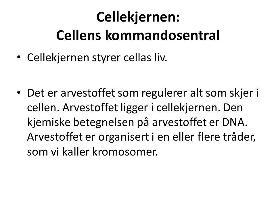 Cellekjernen: Cellens kommandosentral • Cellekjernen styrer cellas liv. • Det er arvestoffet som regulerer alt som skjer i cellen. Arvestoffet ligger