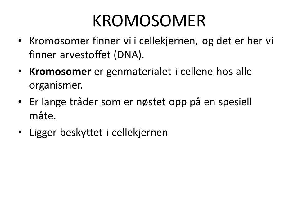 KROMOSOMER • Kromosomer finner vi i cellekjernen, og det er her vi finner arvestoffet (DNA). • Kromosomer er genmaterialet i cellene hos alle organism