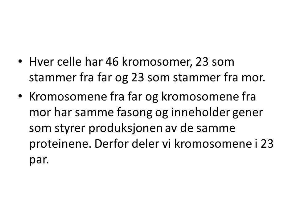 • Hver celle har 46 kromosomer, 23 som stammer fra far og 23 som stammer fra mor. • Kromosomene fra far og kromosomene fra mor har samme fasong og inn