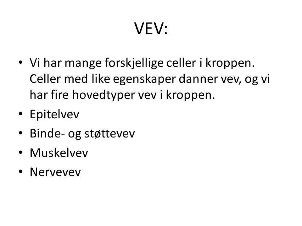 VEV: • Vi har mange forskjellige celler i kroppen.