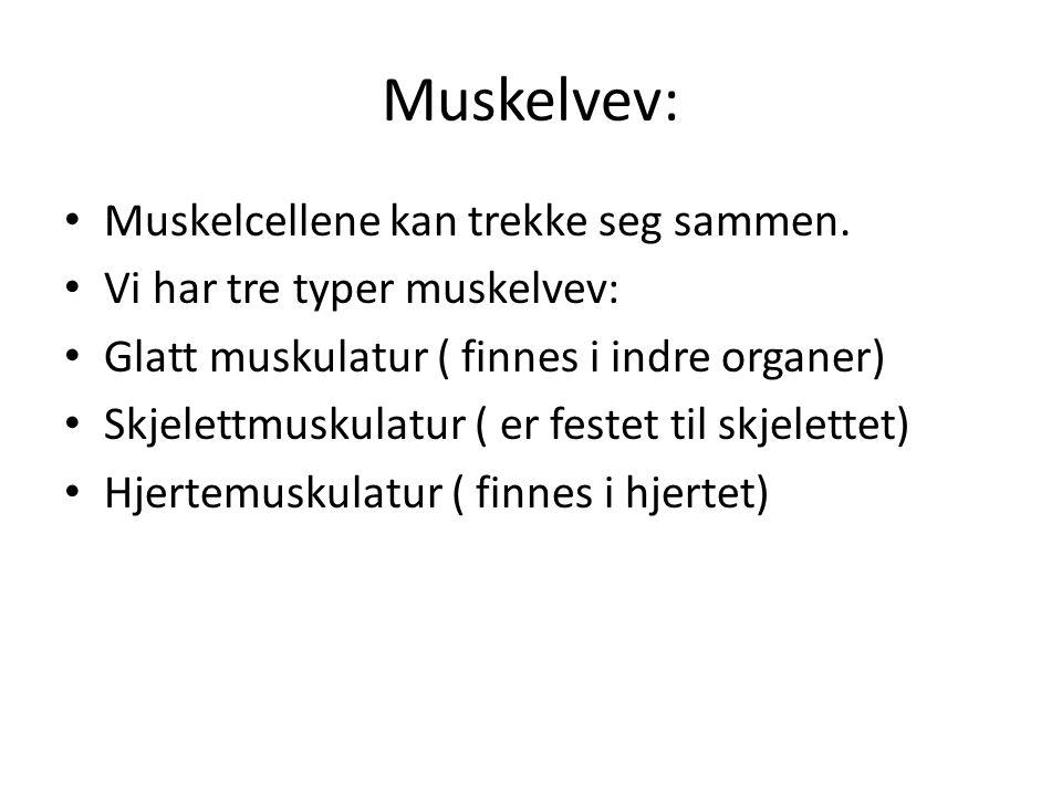 Muskelvev: • Muskelcellene kan trekke seg sammen. • Vi har tre typer muskelvev: • Glatt muskulatur ( finnes i indre organer) • Skjelettmuskulatur ( er