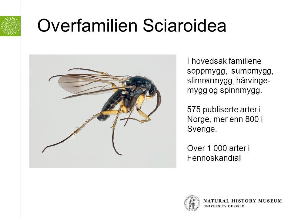 Overfamilien Sciaroidea I hovedsak familiene soppmygg, sumpmygg, slimrørmygg, hårvinge- mygg og spinnmygg. 575 publiserte arter i Norge, mer enn 800 i