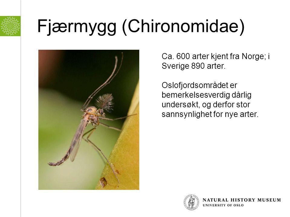 Fjærmygg (Chironomidae) Ca. 600 arter kjent fra Norge; i Sverige 890 arter. Oslofjordsområdet er bemerkelsesverdig dårlig undersøkt, og derfor stor sa