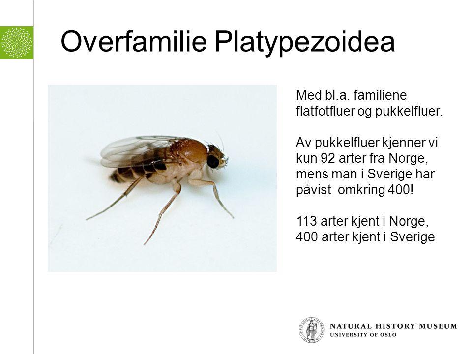 Overfamilie Platypezoidea Med bl.a. familiene flatfotfluer og pukkelfluer. Av pukkelfluer kjenner vi kun 92 arter fra Norge, mens man i Sverige har på