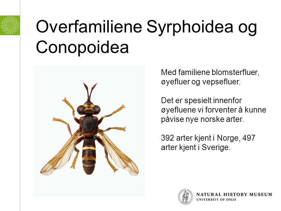 Overfamiliene Syrphoidea og Conopoidea Med familiene blomsterfluer, øyefluer og vepsefluer. Det er spesielt innenfor øyefluene vi forventer å kunne på