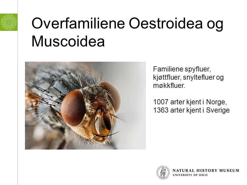 Overfamiliene Oestroidea og Muscoidea Familiene spyfluer, kjøttfluer, snyltefluer og møkkfluer. 1007 arter kjent i Norge, 1363 arter kjent i Sverige