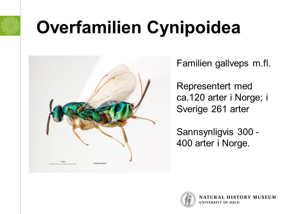 Overfamilien Cynipoidea Familien gallveps m.fl. Representert med ca.120 arter i Norge; i Sverige 261 arter Sannsynligvis 300 - 400 arter i Norge.