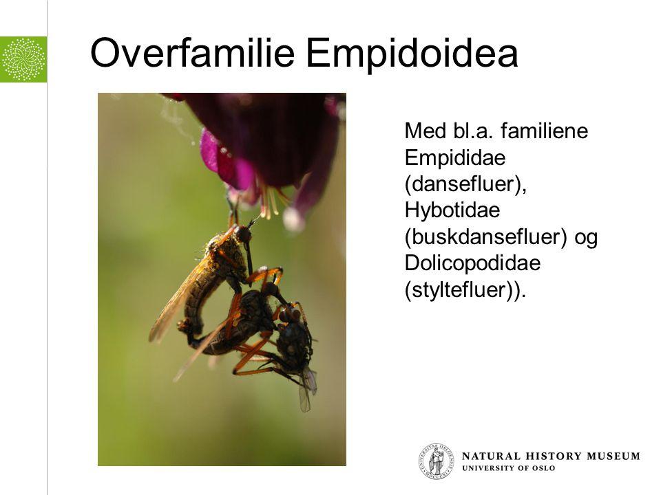 Overfamilie Empidoidea Med bl.a. familiene Empididae (dansefluer), Hybotidae (buskdansefluer) og Dolicopodidae (styltefluer)).