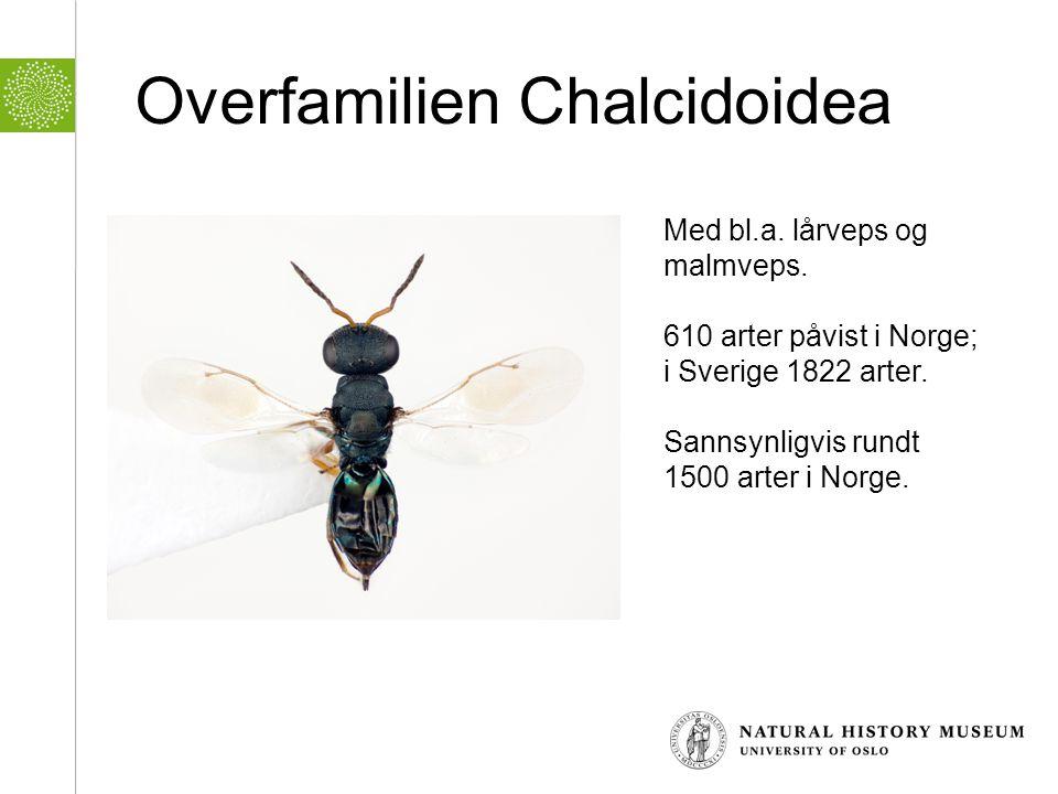 Overfamilien Chalcidoidea Med bl.a. lårveps og malmveps. 610 arter påvist i Norge; i Sverige 1822 arter. Sannsynligvis rundt 1500 arter i Norge.