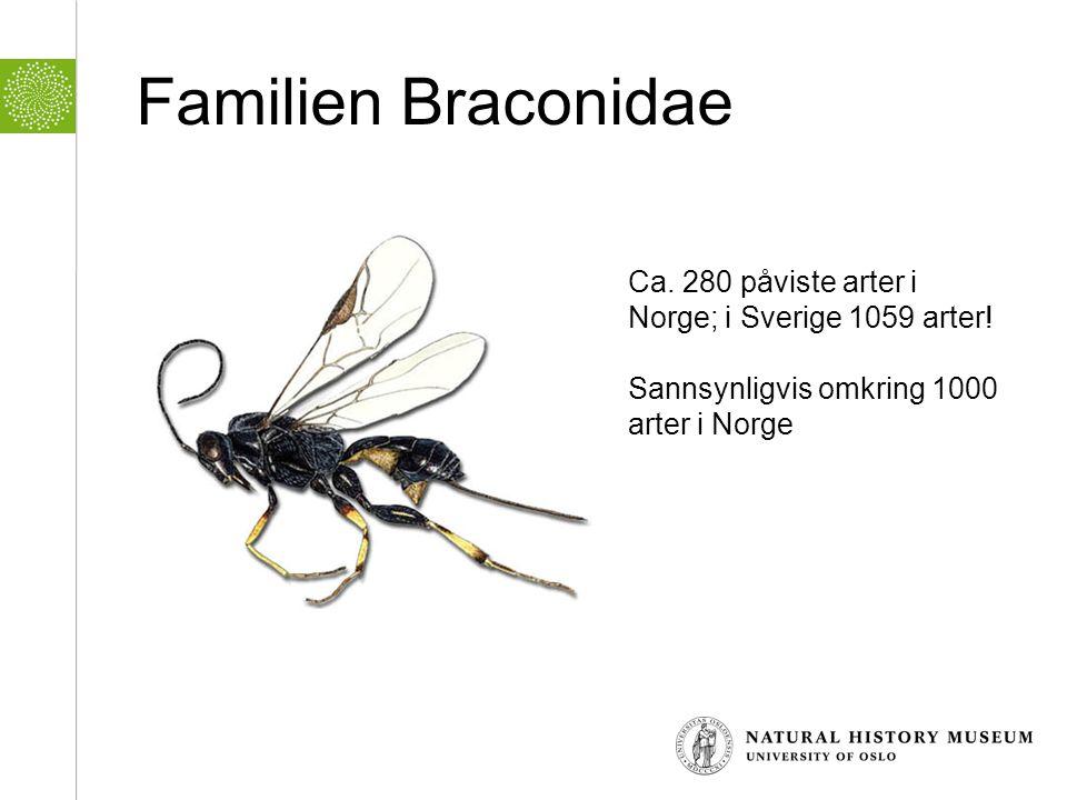 Familien Braconidae Ca. 280 påviste arter i Norge; i Sverige 1059 arter! Sannsynligvis omkring 1000 arter i Norge