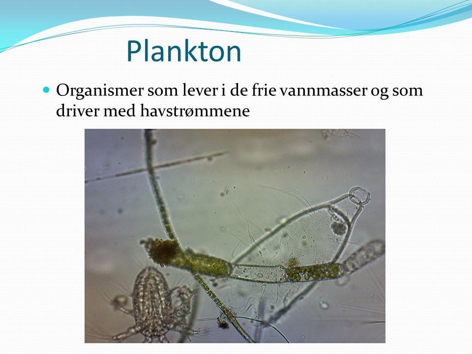 Plankton  Organismer som lever i de frie vannmasser og som driver med havstrømmene