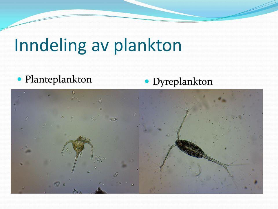 Inndeling av plankton  Planteplankton  Dyreplankton