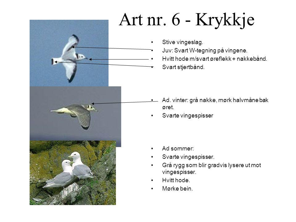 Art nr.6 - Krykkje •Stive vingeslag. •Juv: Svart W-tegning på vingene.