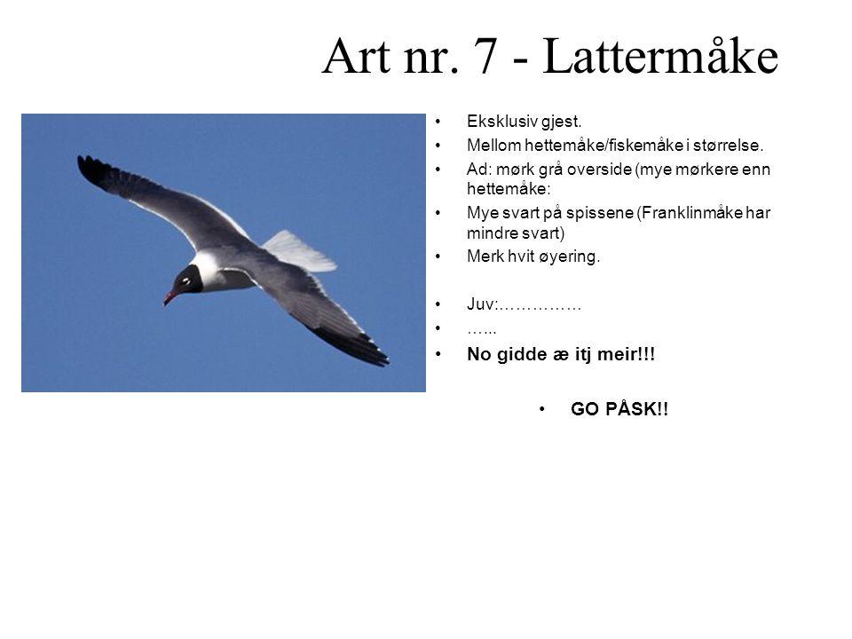 Art nr.7 - Lattermåke •Eksklusiv gjest. •Mellom hettemåke/fiskemåke i størrelse.