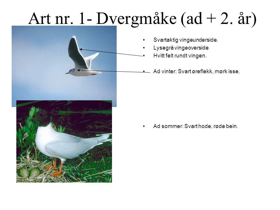 Art nr.1- Dvergmåke (ad + 2. år) •Svartaktig vingeunderside.