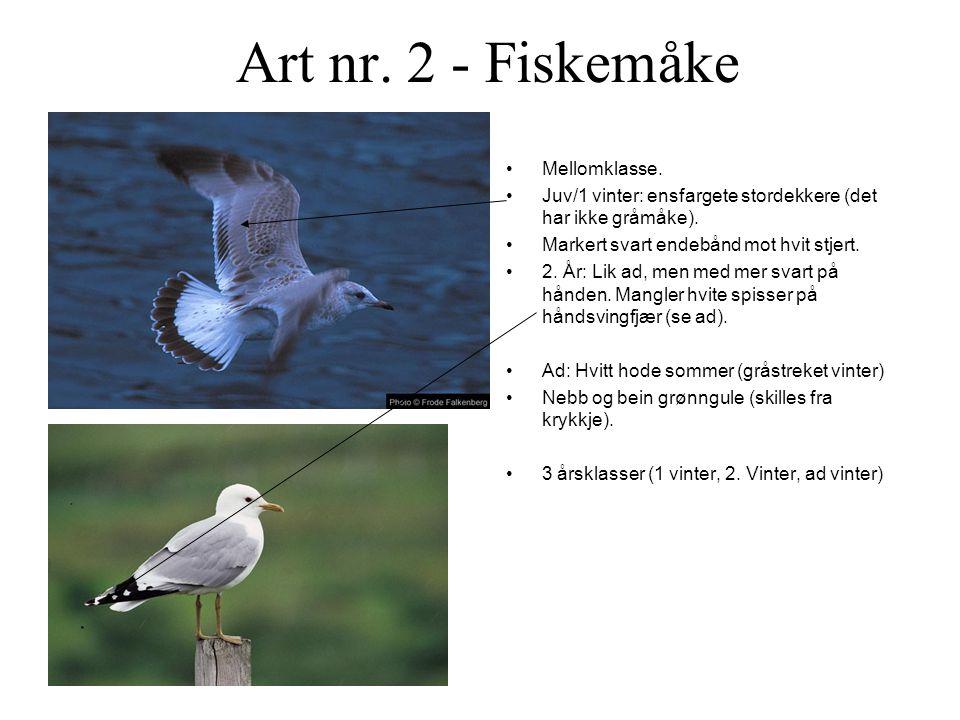Art nr.2 - Fiskemåke •Mellomklasse. •Juv/1 vinter: ensfargete stordekkere (det har ikke gråmåke).