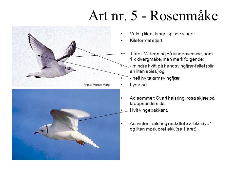 Art nr.5 - Rosenmåke •Veldig liten, lange spisse vinger.