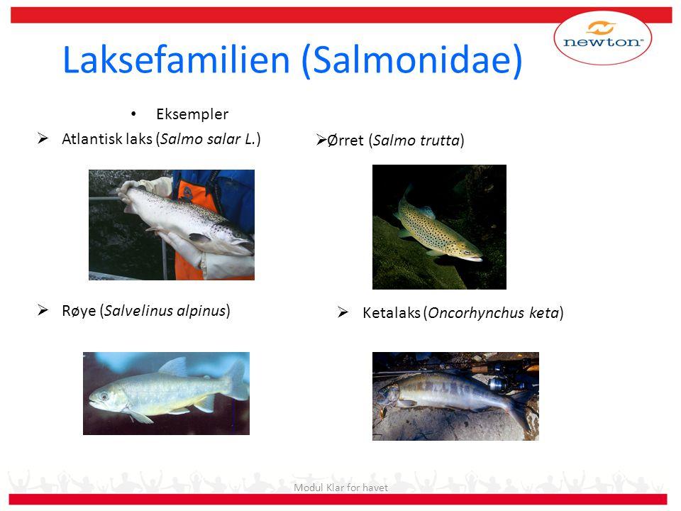 • Eksempler  Atlantisk laks (Salmo salar L.)  Røye (Salvelinus alpinus) Modul Klar for havet Laksefamilien (Salmonidae)  Ørret (Salmo trutta)  Ket