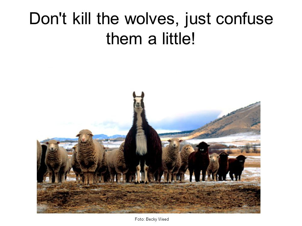 Don t kill the wolves, just confuse them a little! Foto: Becky Weed