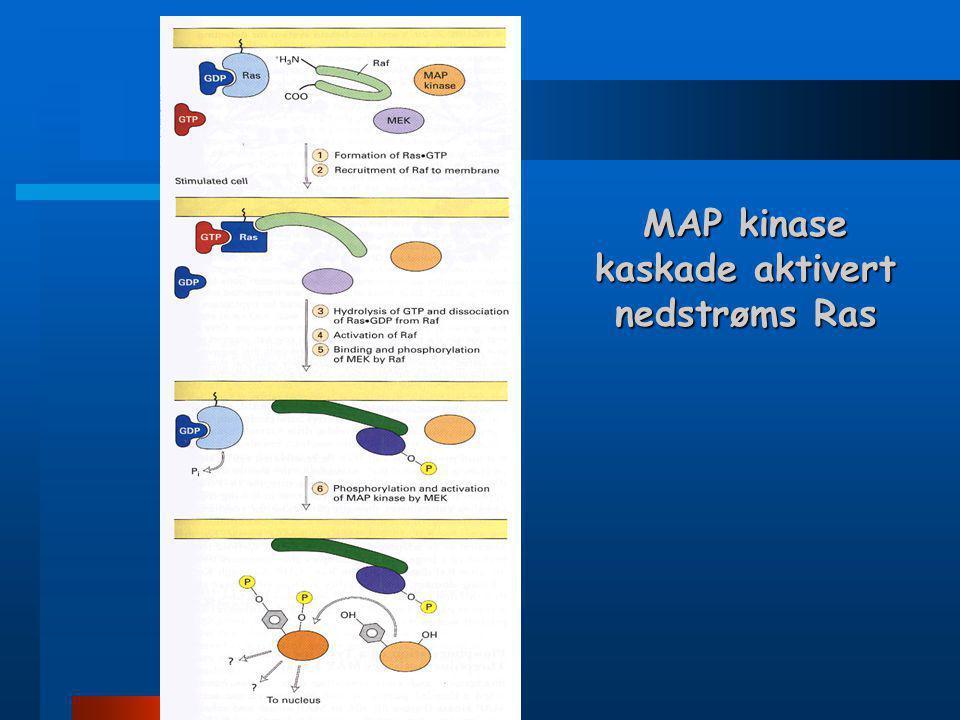 MAP kinase signalveier  Studier i gjær, rundorm, bananflue og mammaler har avdekket en høyt konservert kaskade av protein kinaser som fungerer nedstr