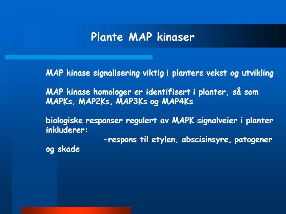 Protein kinase C, PKC Protein kinase C regulerer vekst, differensiering og membran prosesser PKC familien inkluderer 11 subtyper Alle isoformer PKC be