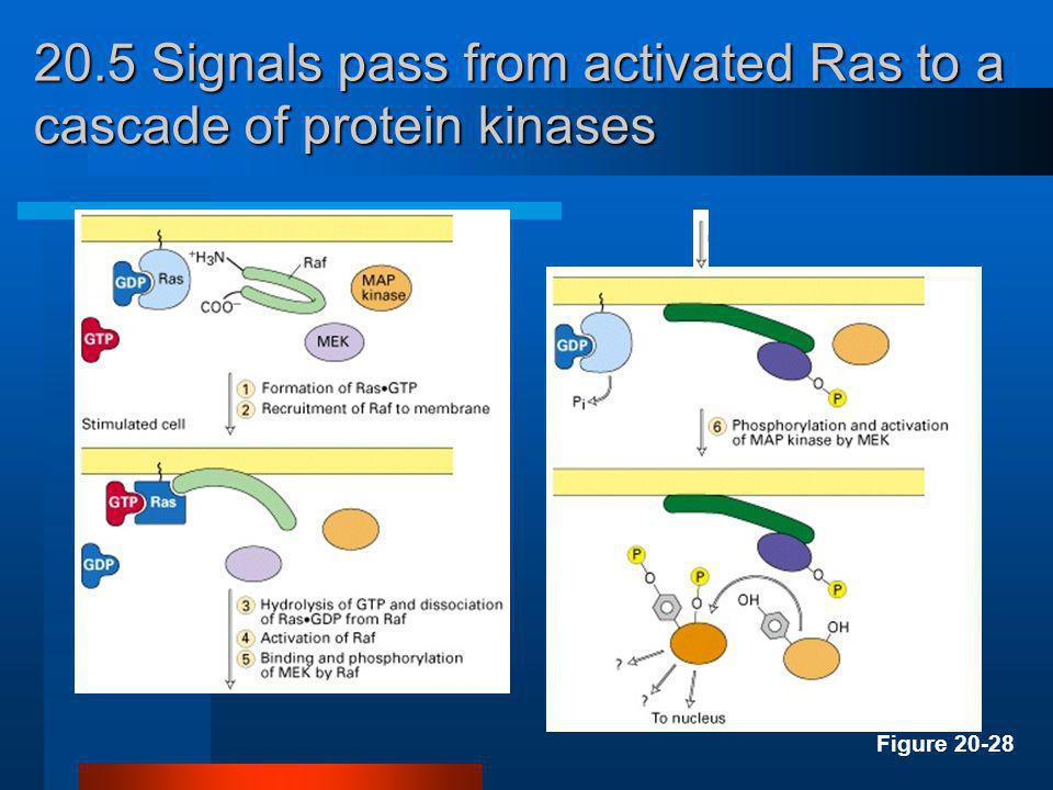 20.5 Signals pass from activated Ras to a cascade of protein kinases Figure 20-28