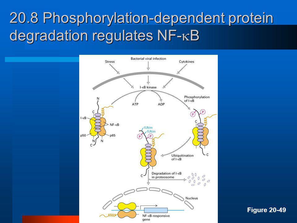 20.8 MAP kinase regulates the activity of many transcription factors Figure 20-48b