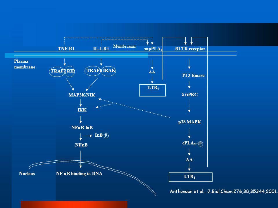 TNF-R1IL-1-R1 MAP3K/NIK IKK NF  NF  B TRAF2RIP IBIB P Plasma membrane Nucleus NF-  B binding to DNA TRAF6 IRAK snpPLA 2 AA LTB 4 cPLA 2 P PL