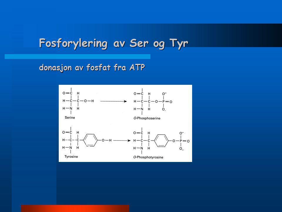 Fosforylering av Ser og Tyr donasjon av fosfat fra ATP