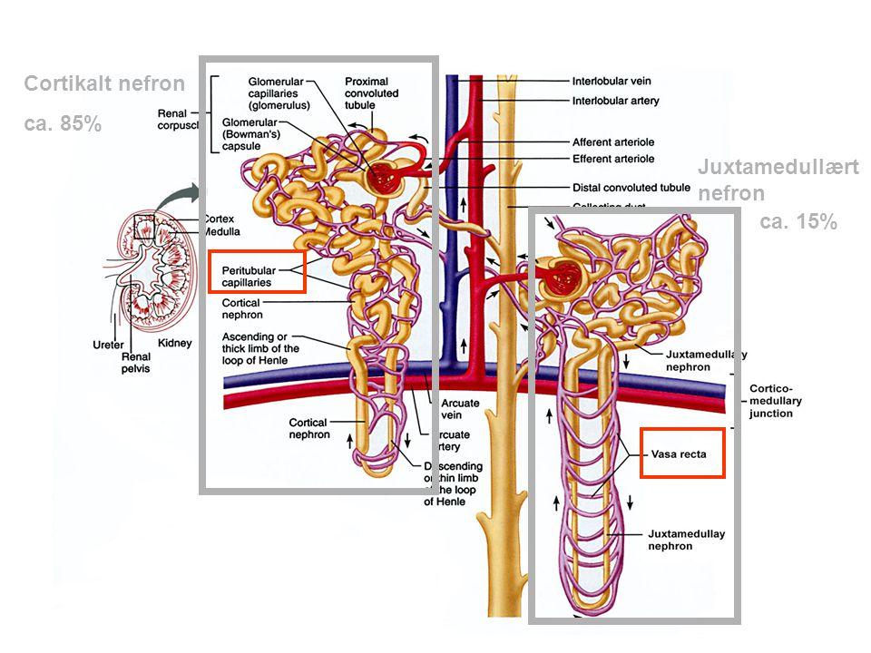 Bark Marg Vasa rectaHenles sløyfe Samlerør Graden av transcellulær transport til/fra blod kan avhenge av filtratets strømningshastighet Motstrømsutvek