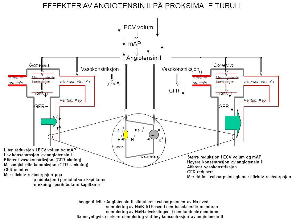 4.3. VOLUMREGULERING ETTER REDUKSJON: Aldosteron og angiotensin II Ytre forstyrrelse Volum- reduksjon Blødning Svette- produksjon Lavt Na + -inntak Ny