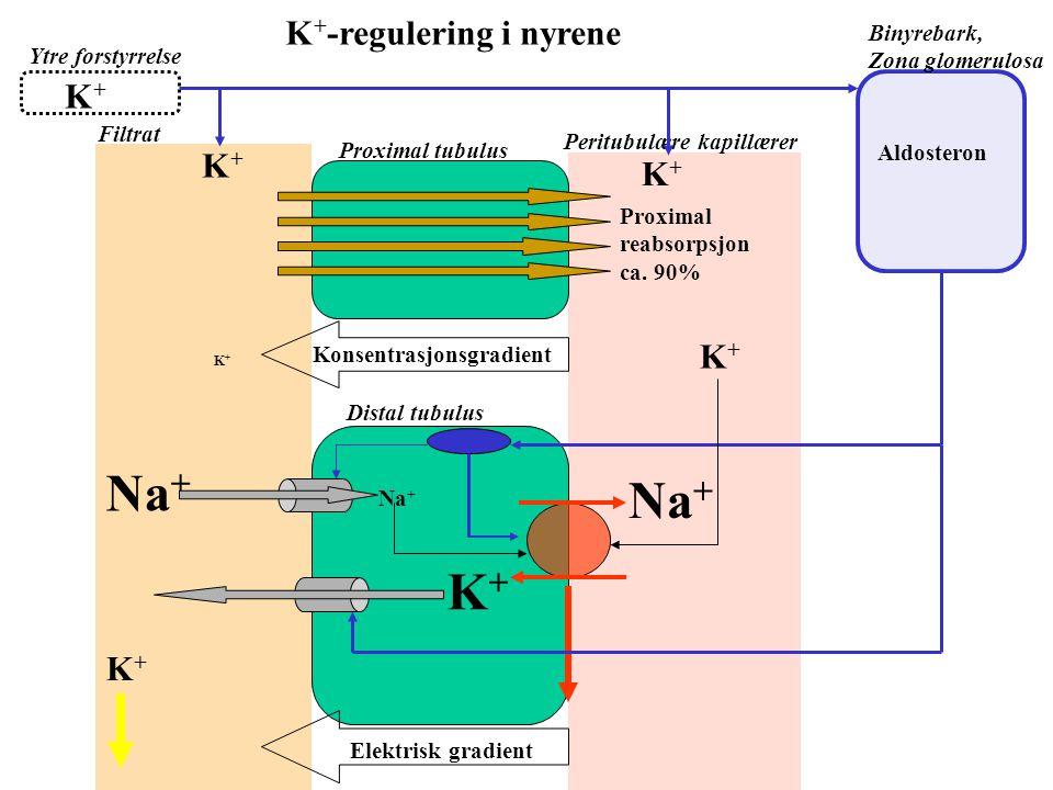 Ytre forstyrrelse Måltid Fysisk aktivitet Celleskade Pancreas Insulin Intracellulær lagring av K + Nyre dist. tubuli Ekskresjon av K + med transcellul