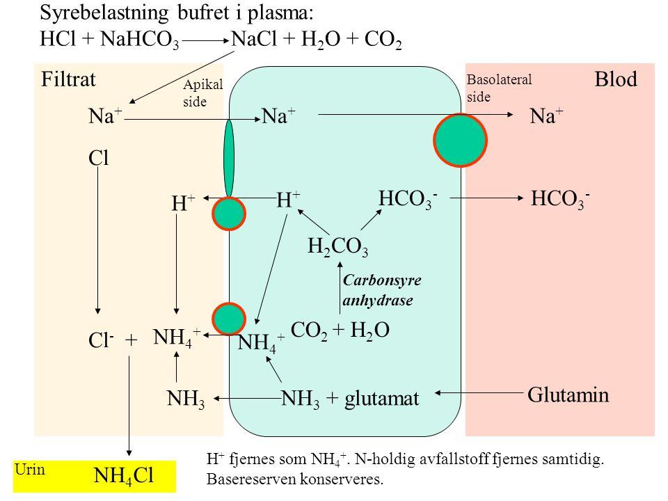 H 2 CO 3 HCO 3 - H+H+ H+H+ CO 2 + H 2 O Na + Filtrat Apikal side Blod Basolateral side Carbonsyre anhydrase Urin Syrebelastning er bufret i plasma: H
